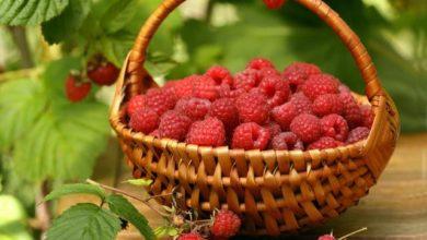 Photo of Какие сорта малины самые урожайные?»
