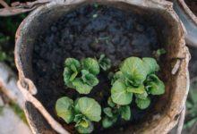 Photo of Хоть в горшок, хоть в мешок. Как выращивать картофель в вазонах?»