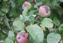 Photo of Как лечить грибные болезни деревьев?»