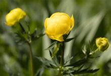 Photo of Почему купальницу считают любимым цветком троллей?»