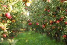 Photo of Дают плоды, морозов не боятся. Урожайные и простые в уходе сорта яблок»