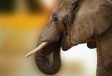Photo of СМИ: число загадочных смертей слонов в Ботсване выросло до 170″