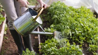 Photo of Как правильно поливать грядки — утром или вечером?»