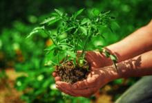 Photo of Можно сейчас посадить рассаду помидоров или время упущено?»