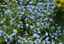 Photo of Как вырастить в дачном цветнике незабудки?