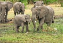Photo of В Ботсване рассказали о загадочной смерти более чем 110 слонов»