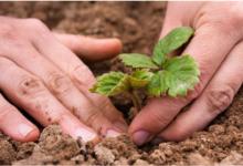 Photo of Время земляники. Как посадить, размножить и ухаживать за садовой ягодой?
