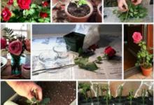 Photo of Подарим букету вторую жизнь! Как черенковать розы, хризантемы и лилии?