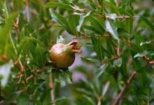 Photo of Как юному натуралисту вырастить деревце карликового граната?