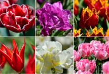 Photo of Как проходит «Парад тюльпанов» в Крыму?