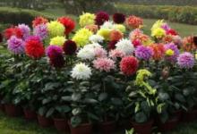 Photo of Как правильно выращивать георгины в саду.