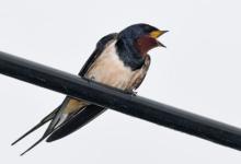 Photo of Почему ласточки летают низко перед дождём?»