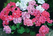 Photo of Герань: выращивание и уход в домашних условиях