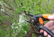 Photo of Время черенковать. Как самим размножить популяцию декоративных кустарников у себя в саду.