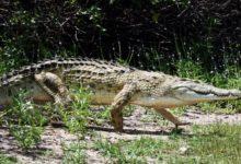 Photo of В лесу напала стая крокодилов. Какие сюрпризы несёт глобальное потепление?»