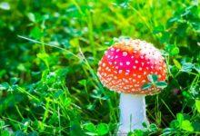 Photo of Скрытные убийцы. Как действуют на организм ядовитые грибы?»