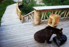 Photo of Совсем обурели. В Сочи бурые медведи всё чаще беспокоят людей»