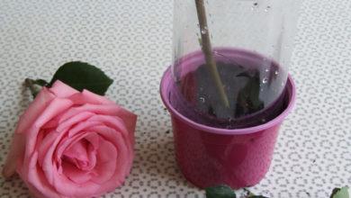 Photo of Подарим букету вторую жизнь! Как черенковать розы, хризантемы и лилии»