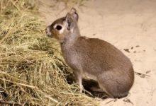 Photo of Что за животное чакоанская мара?»