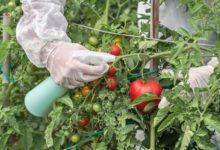 Photo of Гниль, пятнистость и фитофтороз. Как вырастить здоровый томат?»
