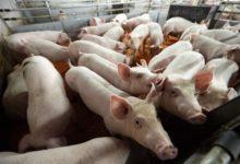 Photo of Что за вспышка африканской чумы свиней произошла в Китае?»