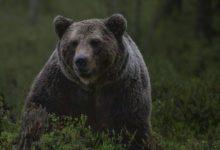 Photo of В Финляндии посетители зоопарка смогут переночевать в окружении медведей»