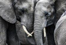 Photo of Что за необъяснимая массовая гибель слонов происходит в Ботсване?»