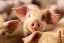 Photo of Что за новый тип свиного гриппа обнаружили в Бразилии?»