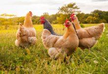 Photo of План для Рябы. Как сделать так, чтобы курица несла по одному яйцу в сутки»