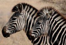Photo of Зачем зебрам нужны полосы?»