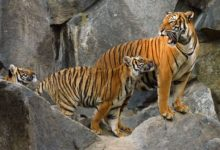 Photo of В Таиланд вернулись вымирающие индокитайские тигры»