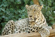 Photo of Двух переднеазиатских леопардов выпустили в Кавказском заповеднике»