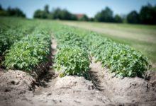 Photo of Почему ботва картофеля скручивается?»
