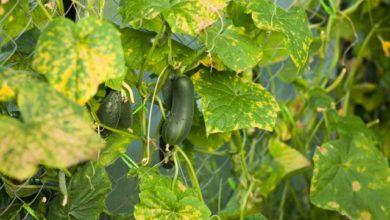 Photo of Почему у огурцов желтеют листья и завязи?»
