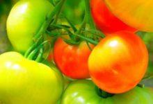 Photo of Почему скручиваются листья у томата?»