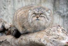 Photo of В Московском зоопарке поселился манул Тимофей»
