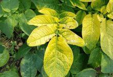 Photo of Почему желтеют листья у картофеля в августе?»