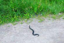 Photo of Что за история с заползшей к женщине в рот змеей произошла в Дагестане?»