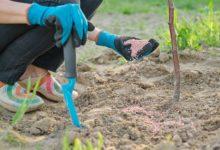 Photo of Когда надо удобрять плодовые деревья и кусты?»