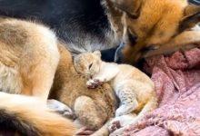 Photo of Приемная Сандра. Овчарка из Приморья заменила львятам мать»