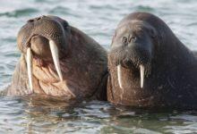Photo of В Центральной Арктике выявлены новые лежбища моржей»