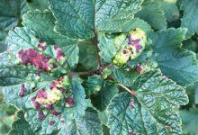 Photo of Диагностика растений. Кто повредил смородину, сирень, салат?»