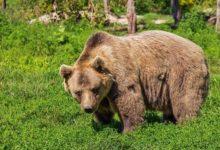Photo of В Чернобыльскую зону впервые за 100 лет вернулись медведи»