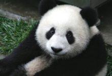 Photo of Панды рады возвращению посетителей в Московский зоопарк»