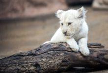 Photo of В Приморье немецкая овчарка выкармливает двух львят из зоопарка»