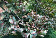 Photo of Зелёные болезни. Как помочь каштану, антуриуму и можжевельнику?»