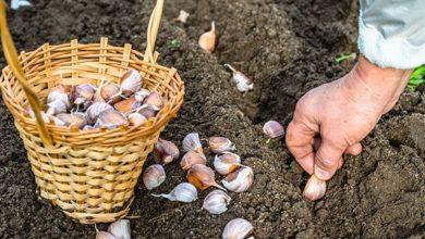 Photo of Настал сезон озимых. Как лучше посадить лук и чеснок»