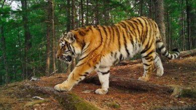Photo of По факту убийства тигра в Амурской области возбуждено уголовное дело»