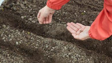 Photo of Подзимний сев: морковь и свёкла поспеют на 3 недели раньше»
