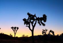 Photo of В Калифорнии могут исчезнуть знаменитые деревья Джошуа»